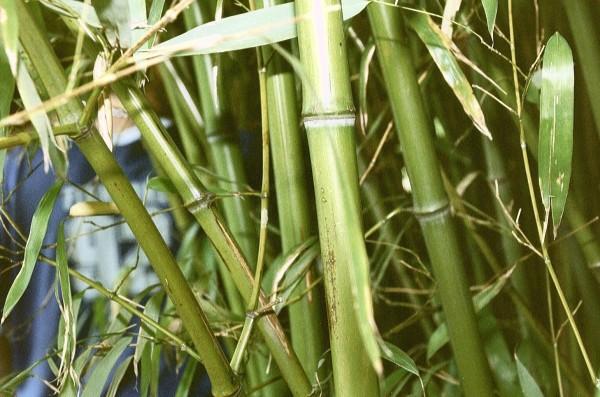 Побеги бамбука