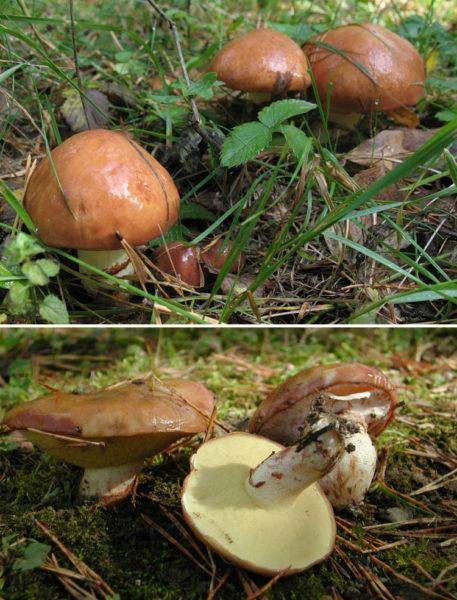 Блестящие шляпки маслят дружно торчат из под листвы
