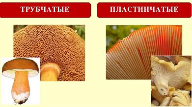 наглядно показано, как выглядят трубчатая и пластинчатая часть гриба под шляпкой